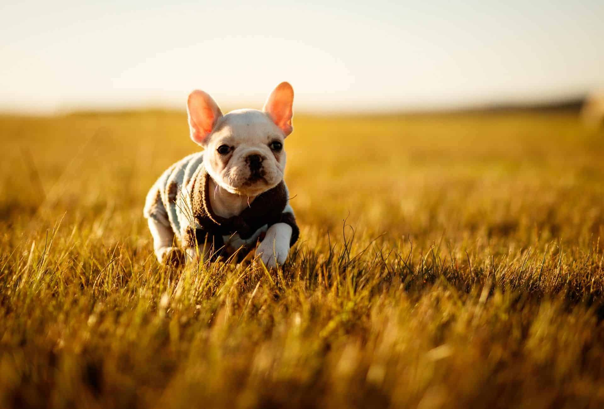 puppy limping in field
