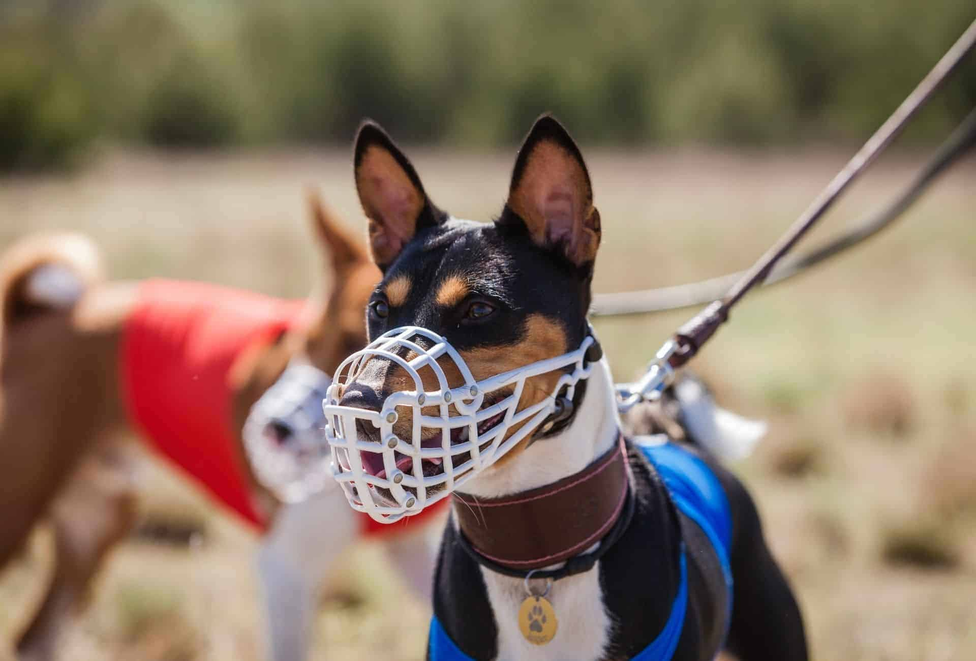 small dog with muzzle