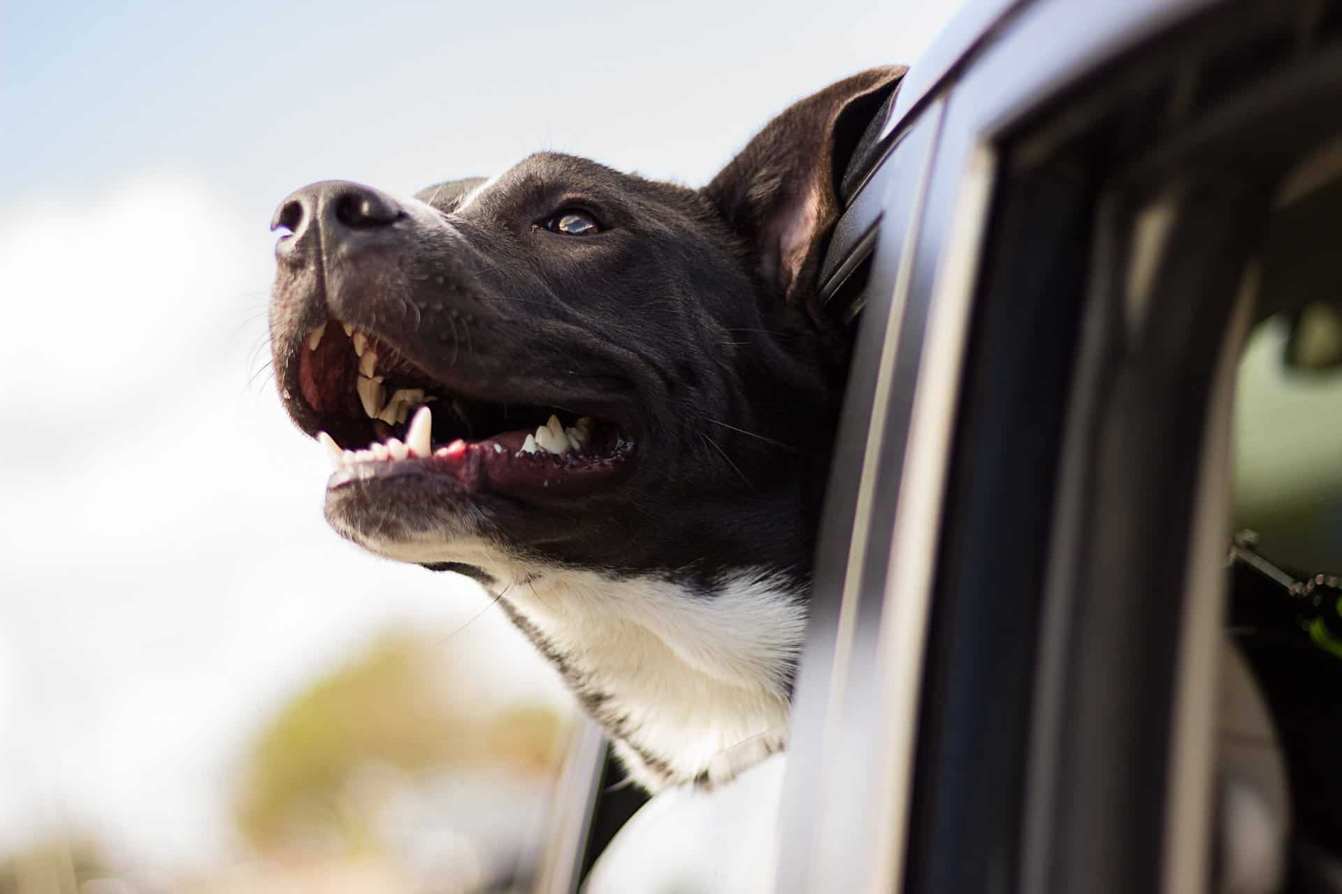 dog hanging his head outside the window, panting