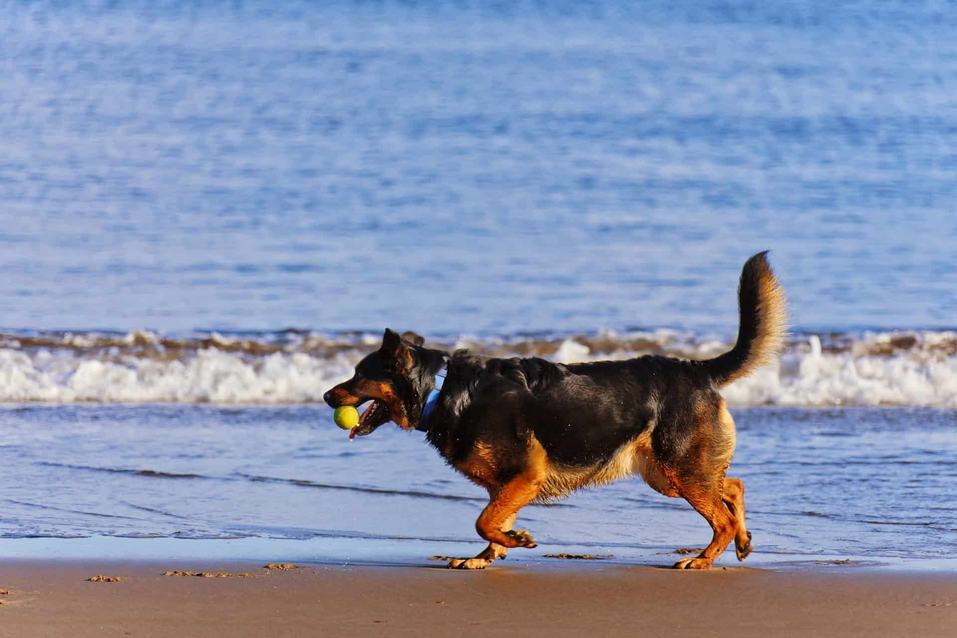 Dog with a raised and stiff tail walking on the beach.