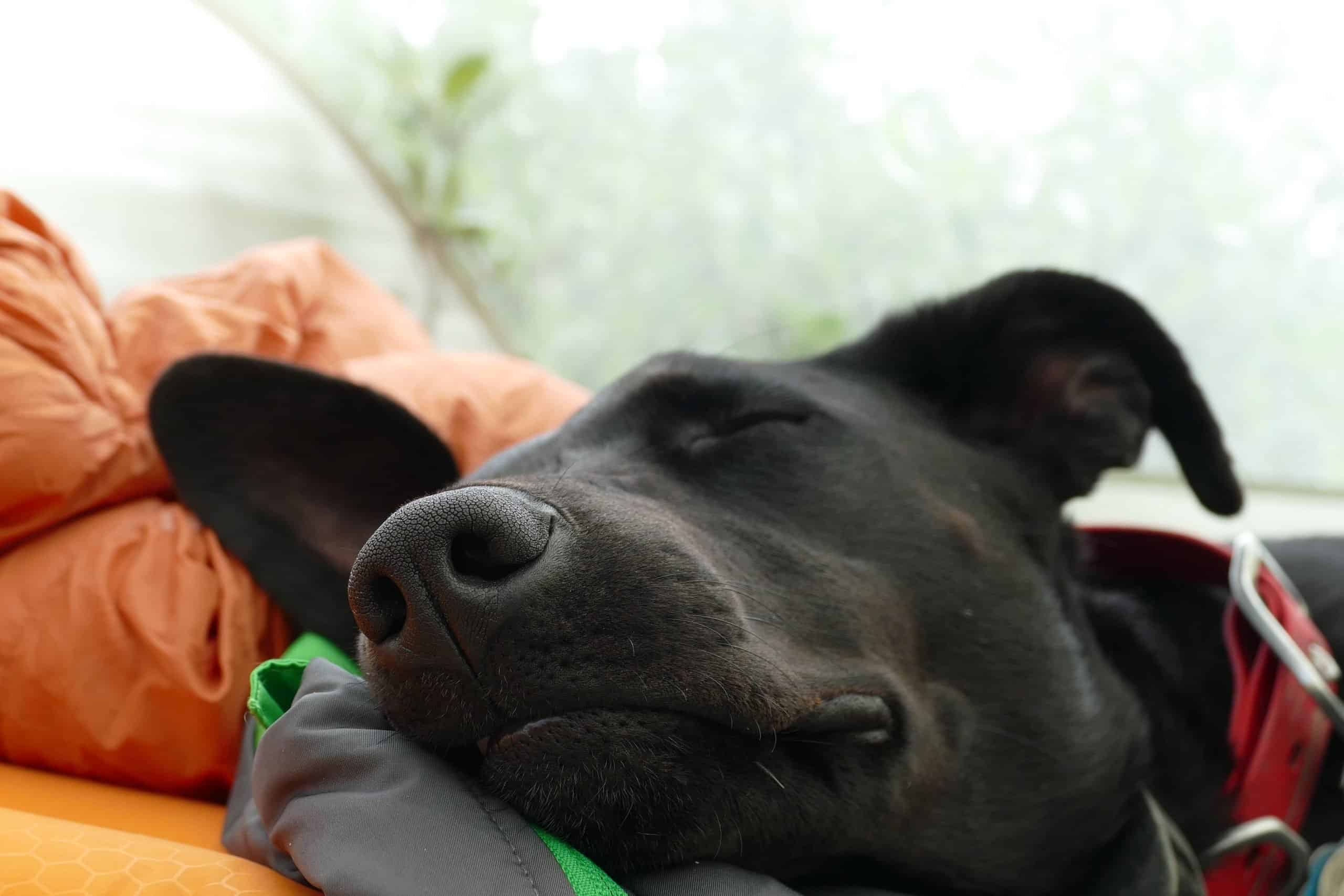 Black dog sleeping in a tent.