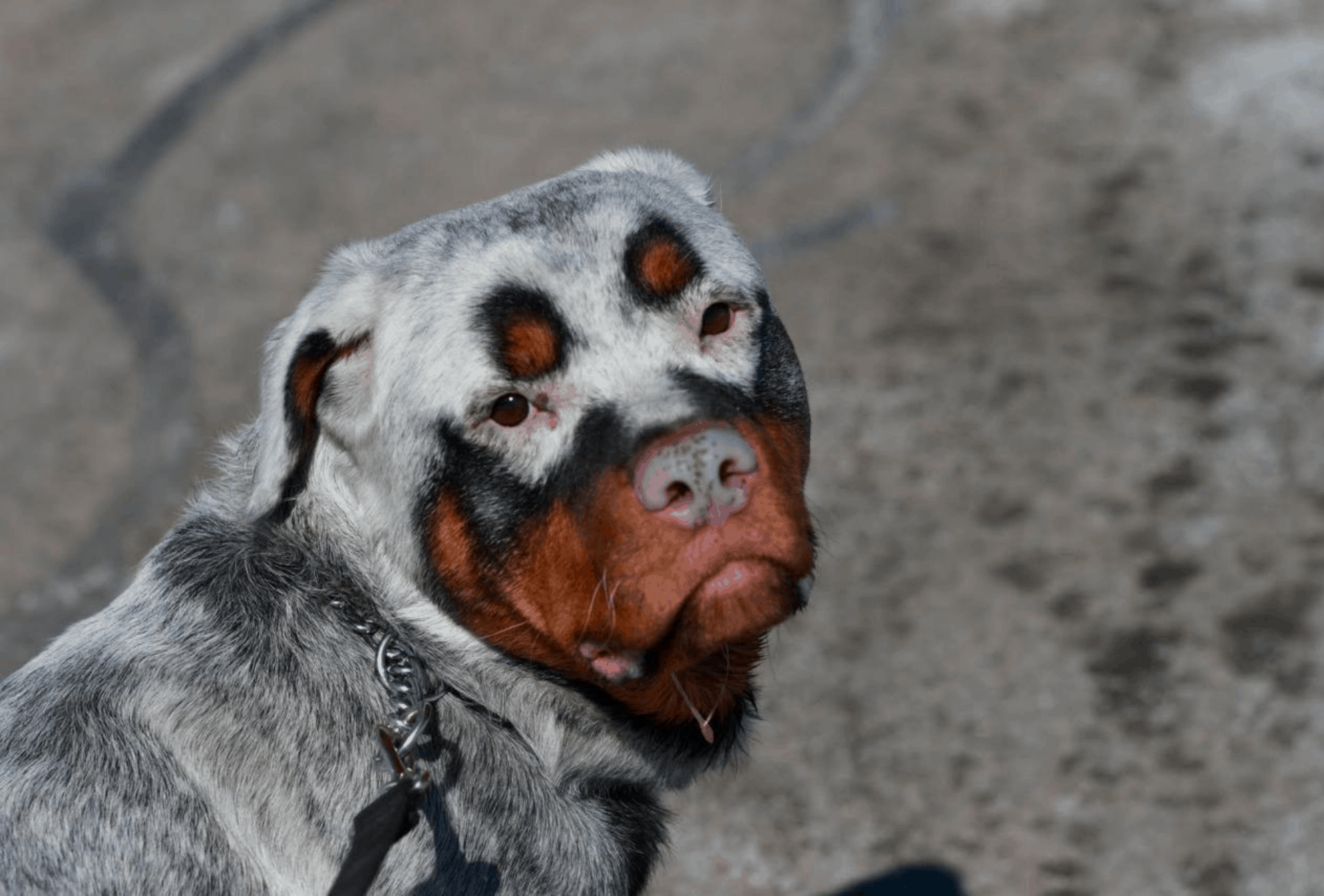 White Rottweiler with patches of black and tan.