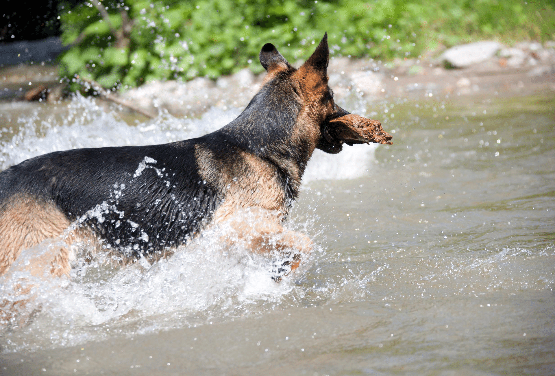 German Shepherd with straight back in the water.