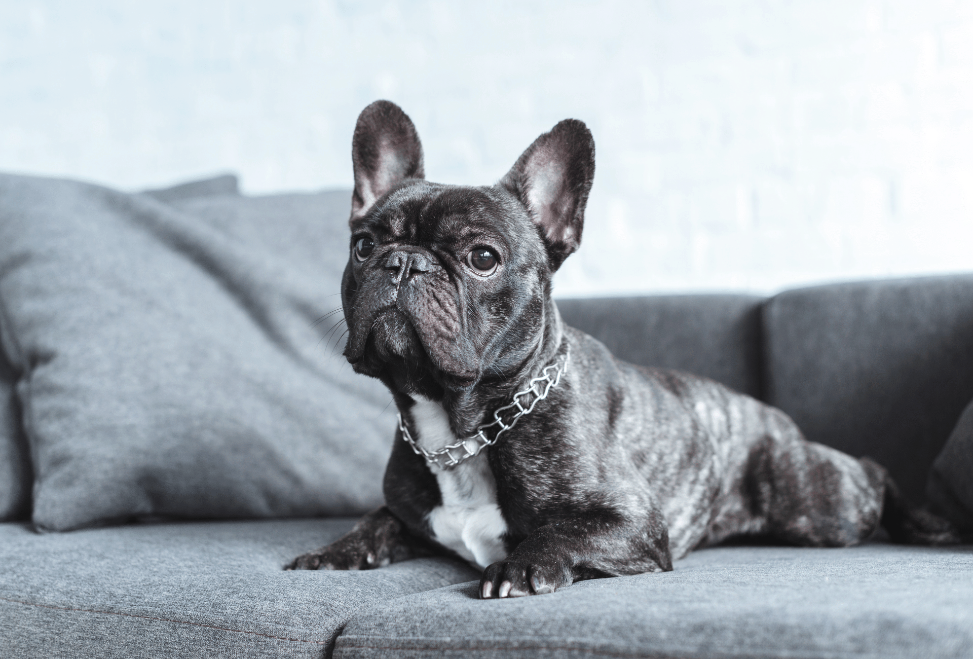 Black brindle French Bulldog on couch.