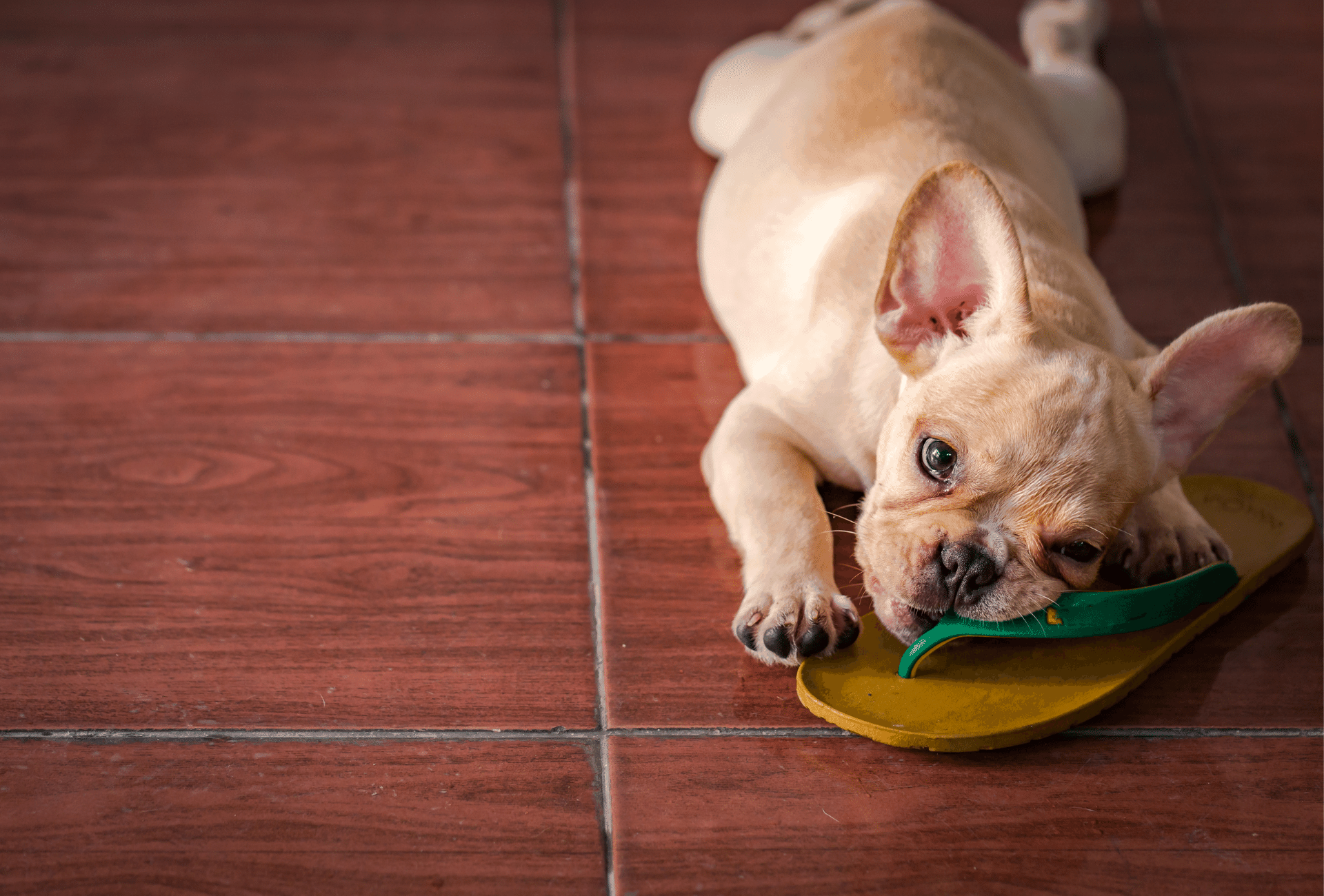 Light cream French Bulldog puppy on the floor.