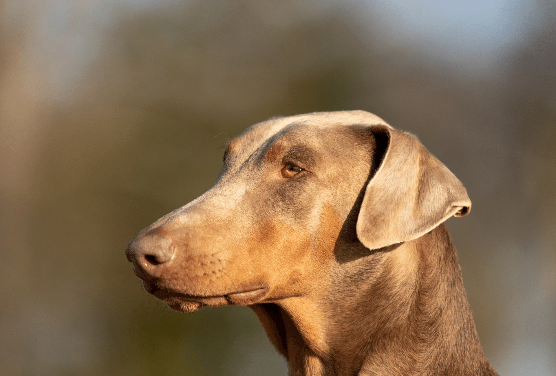 Close-up of a fawn or Isabella colored Doberman