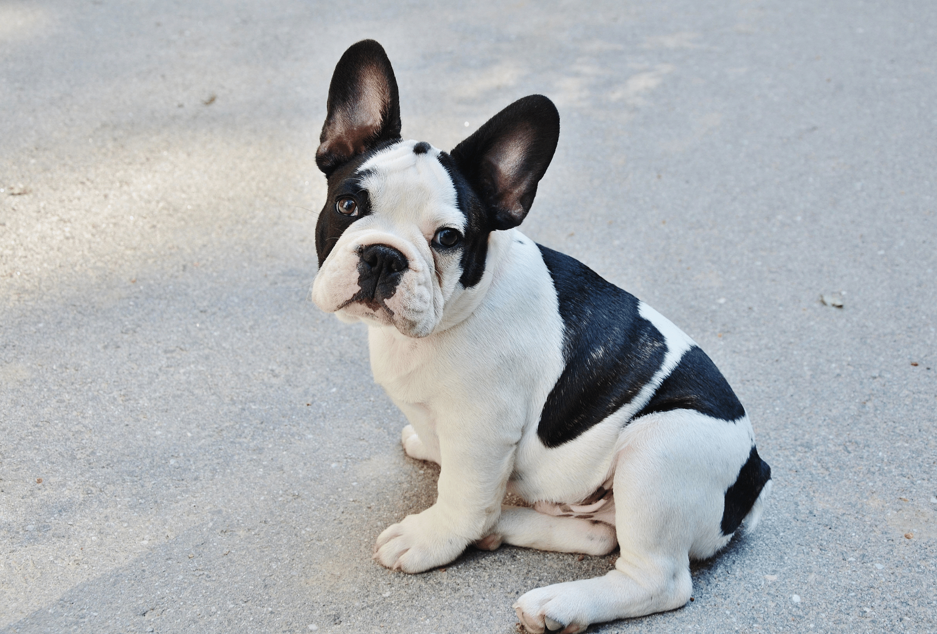 Piebald French Bulldog with light brindle pattern.