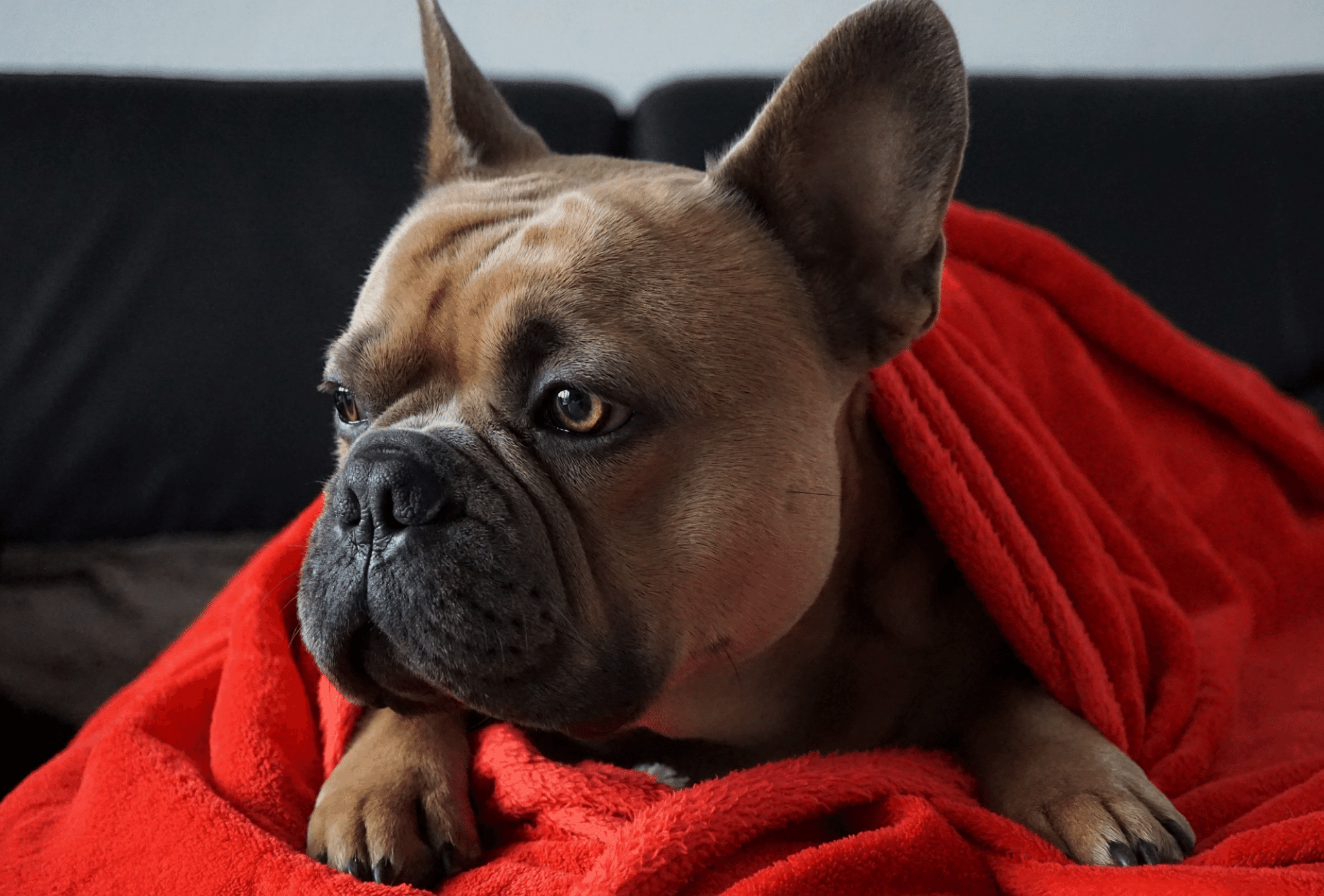 Sable French Bulldog with deep red coat and black-tipped hairs under blanket.