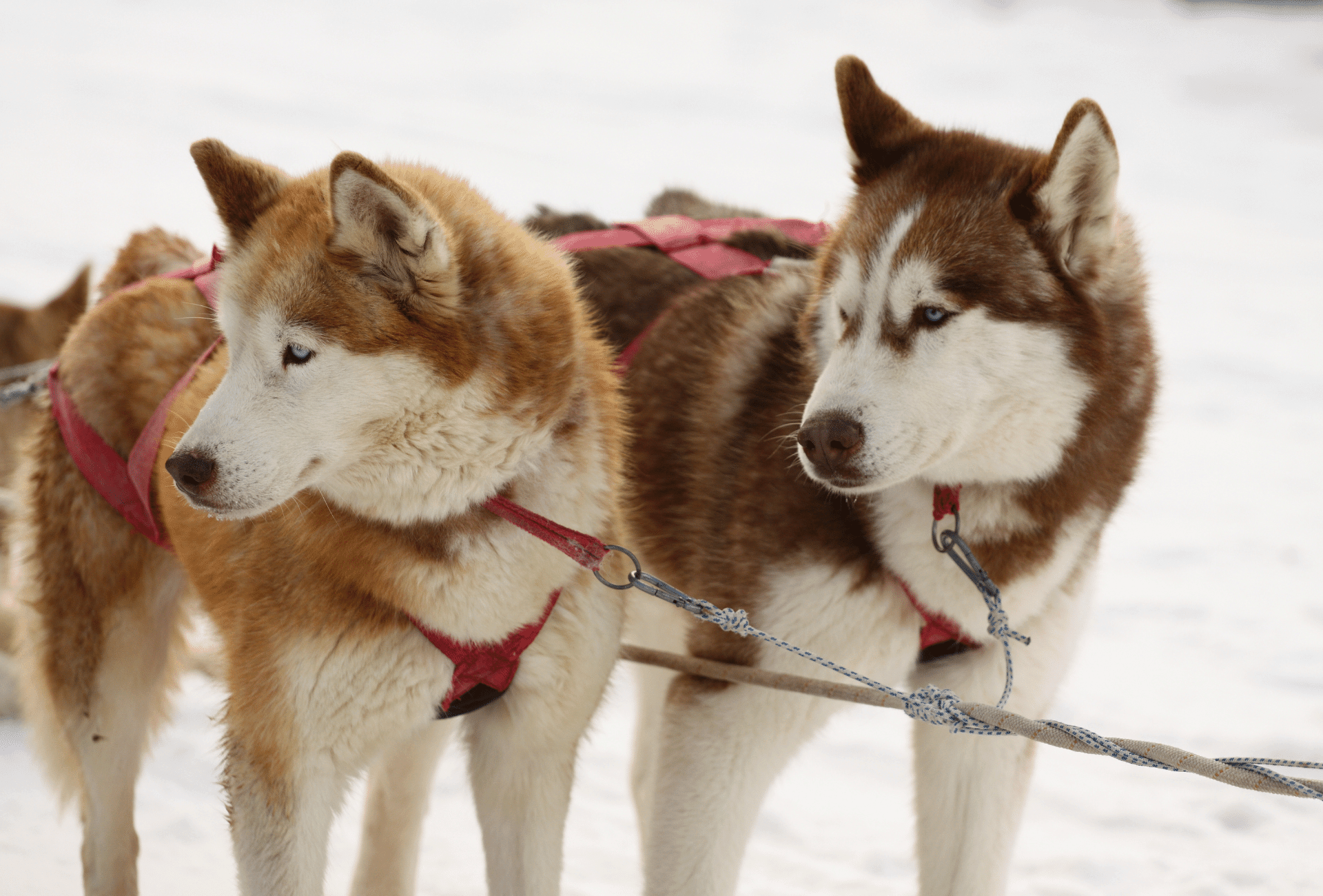 Two red Huskies working as sled dogs. One Husky's coat is copper red, the other Husky has a rich red coat.