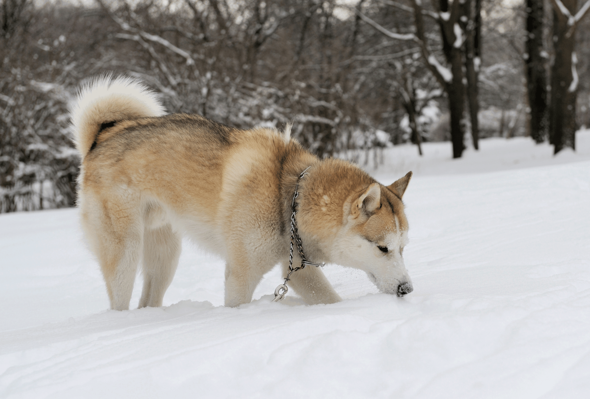 Sable Husky with a reddish undercoat and grey tips walking in the snow.