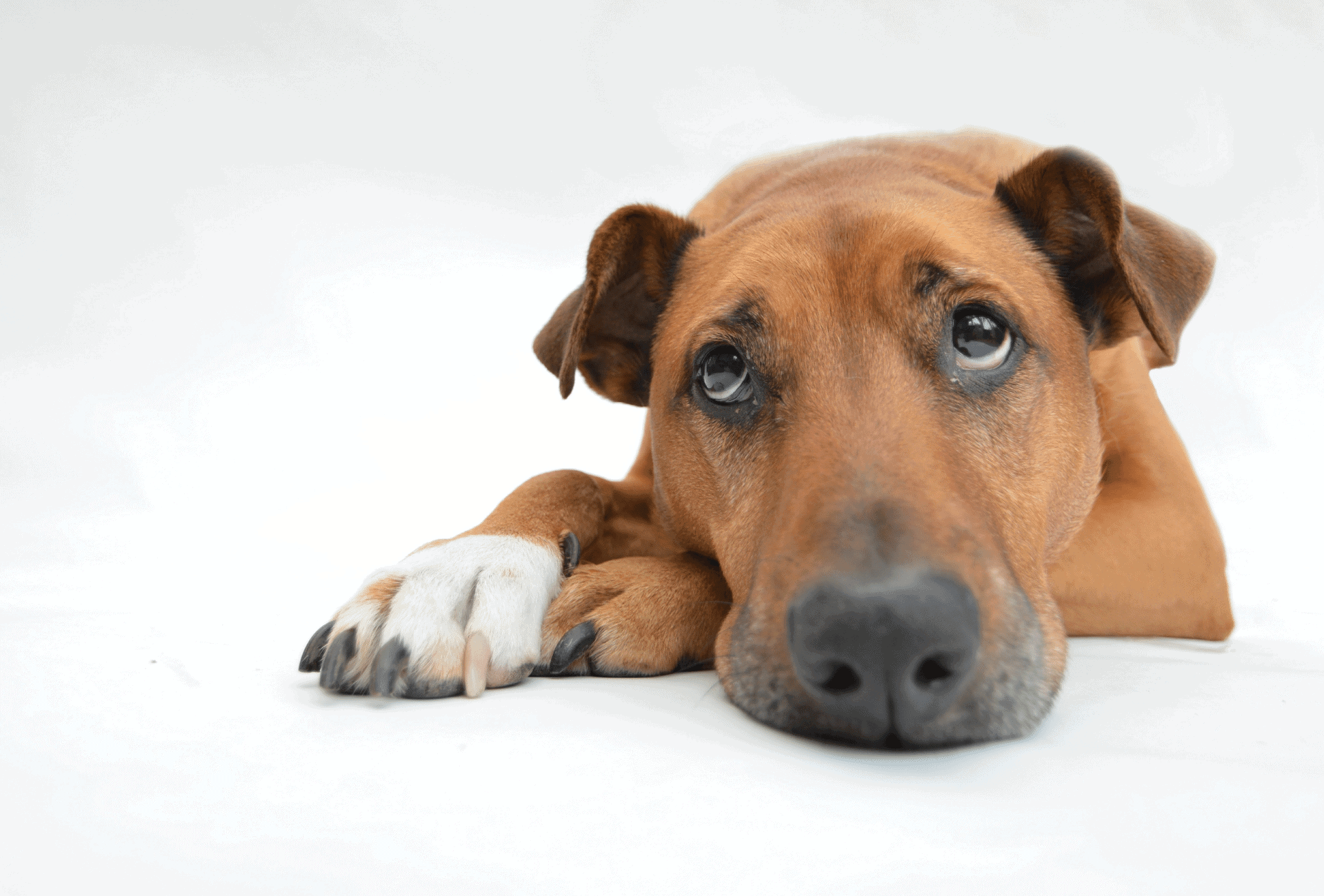 Dog looks sad with his head resting on his paw in front of of a white background.