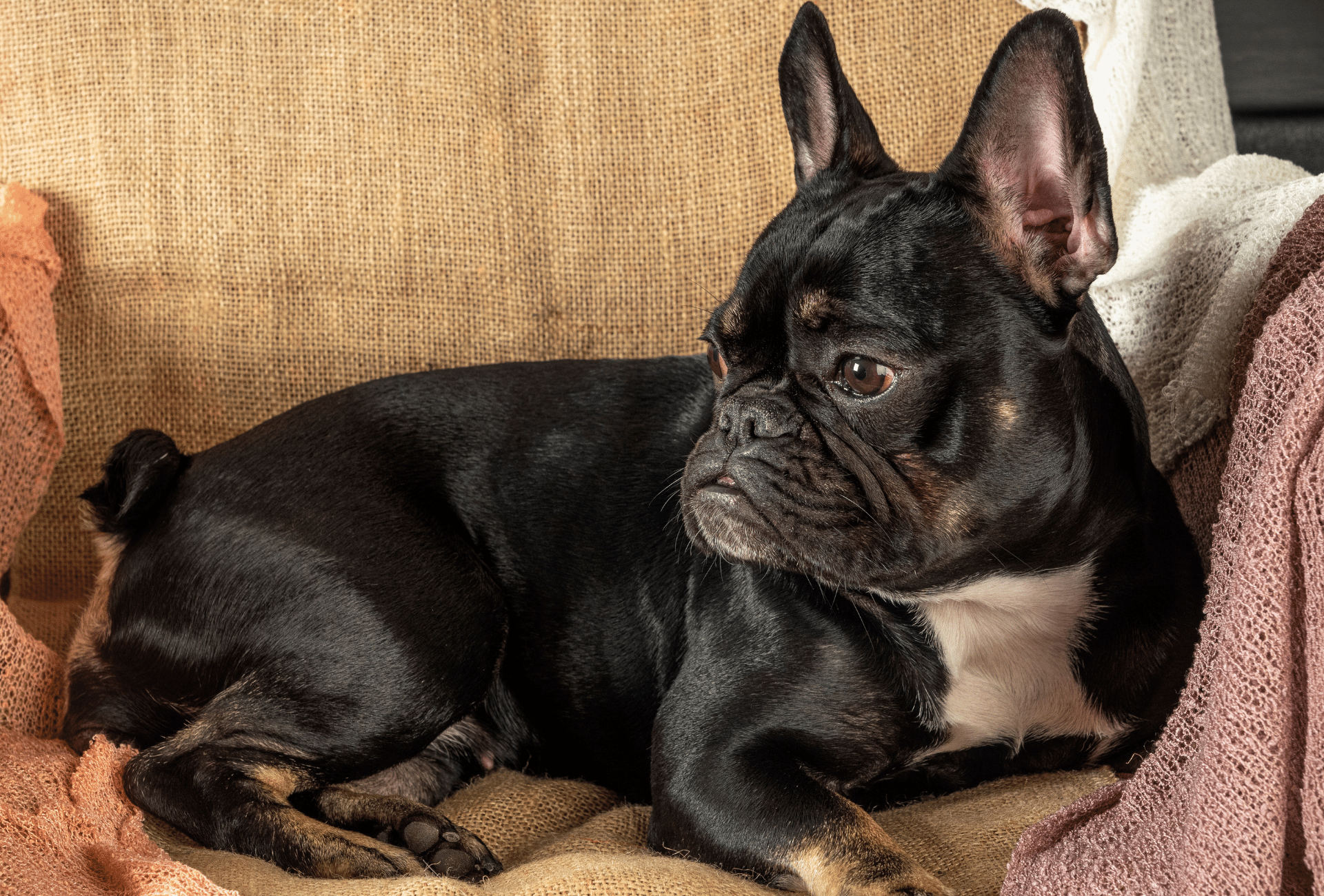 Black and tan French Bulldog on couch.