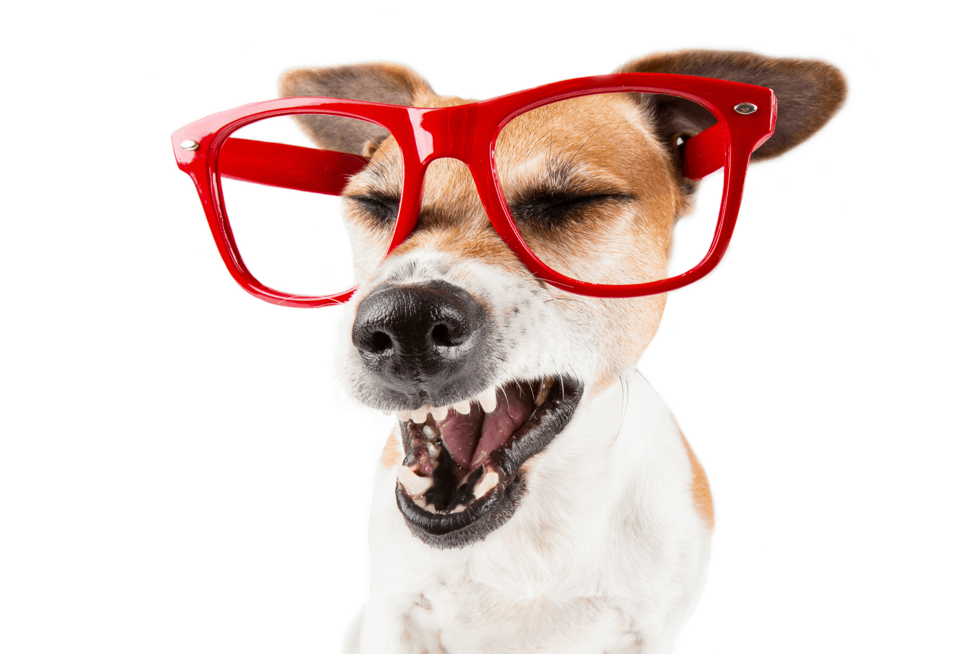 Dog sneezes and wears red glasses
