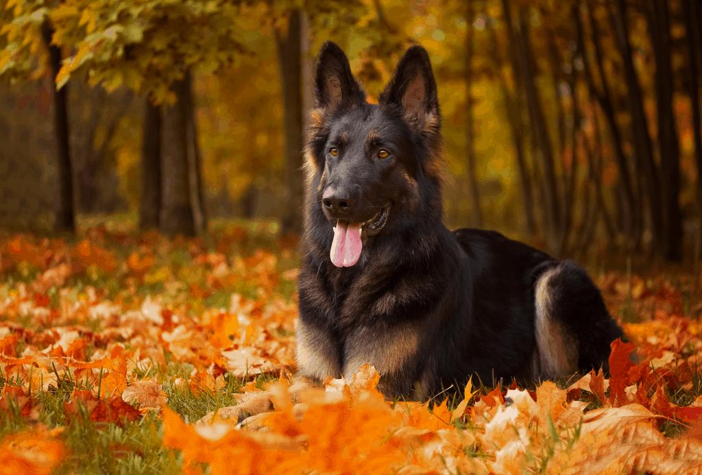 German Shepherd lying in a field of leaves in fall