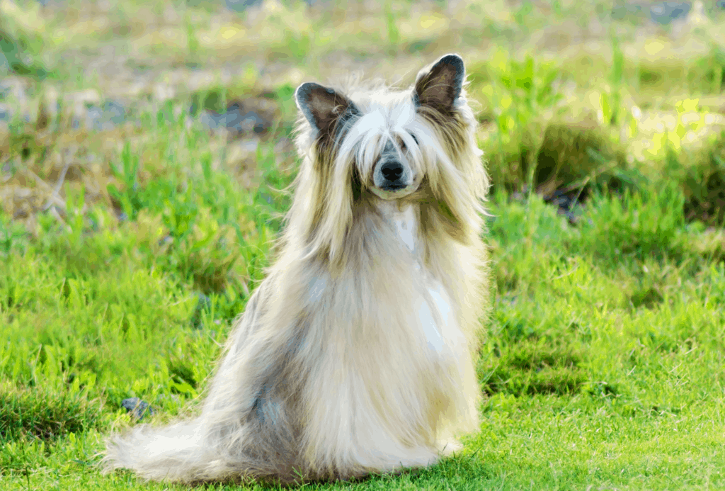 Chinese crested powderpuff in field