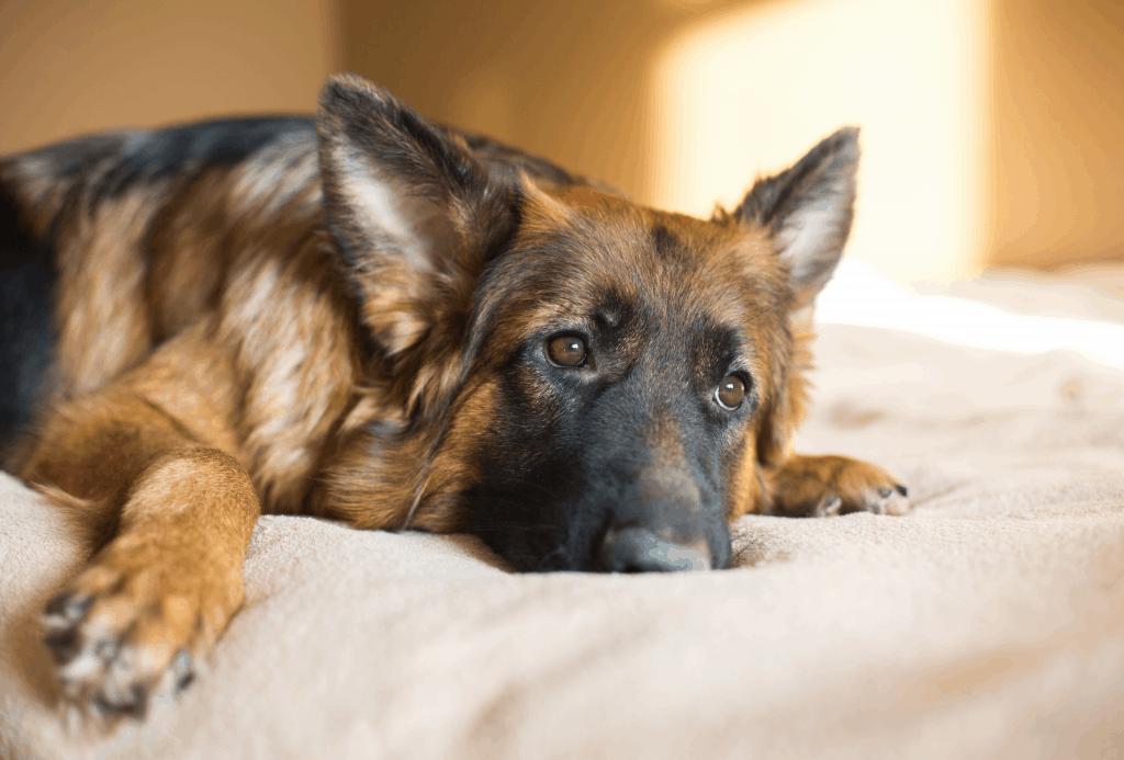 German Shepherd lying on bed