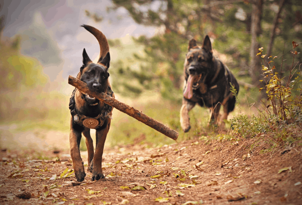 Two German Shepherds playing with a stick