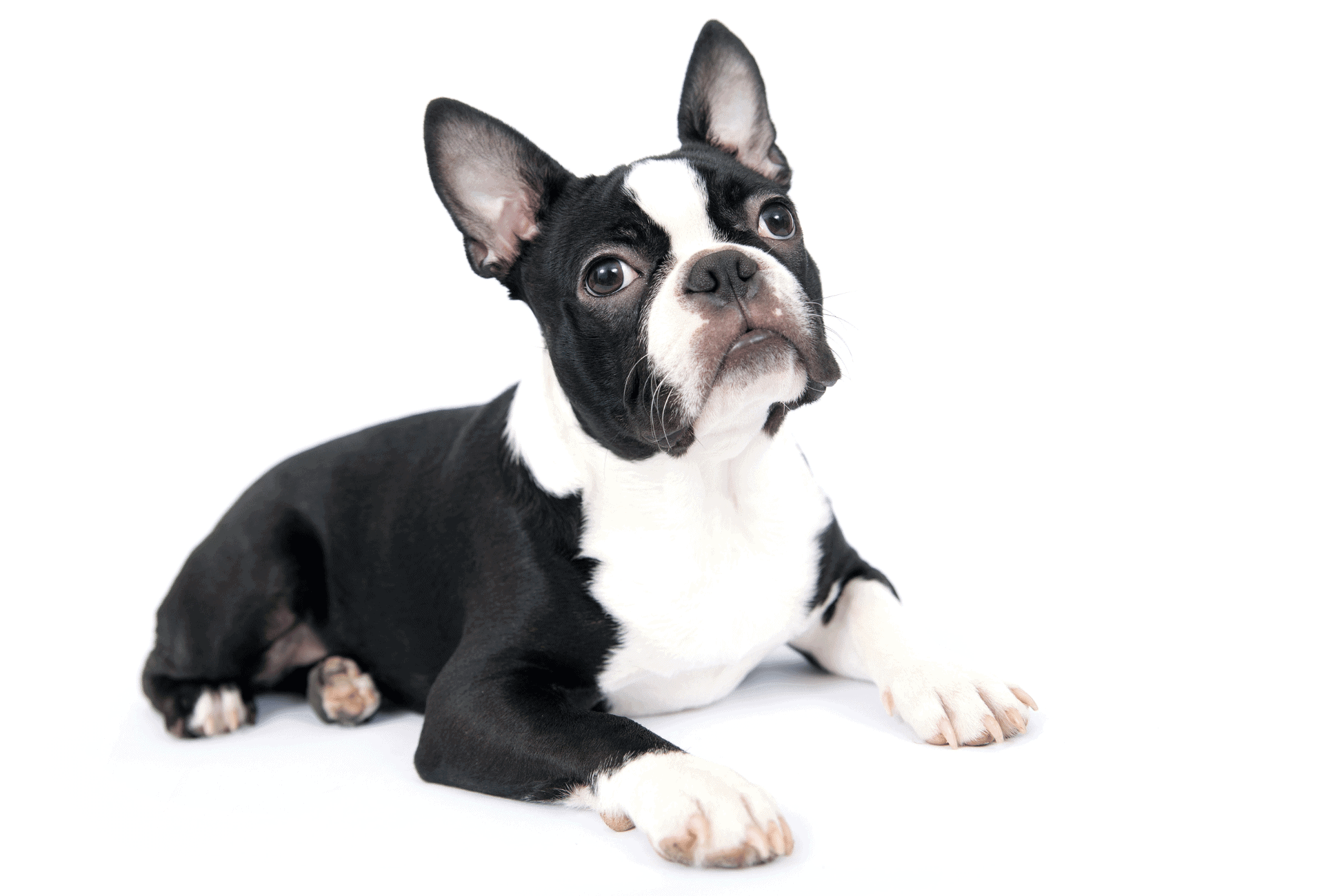 Black and white Boston Terrier on the floor in front of a white background