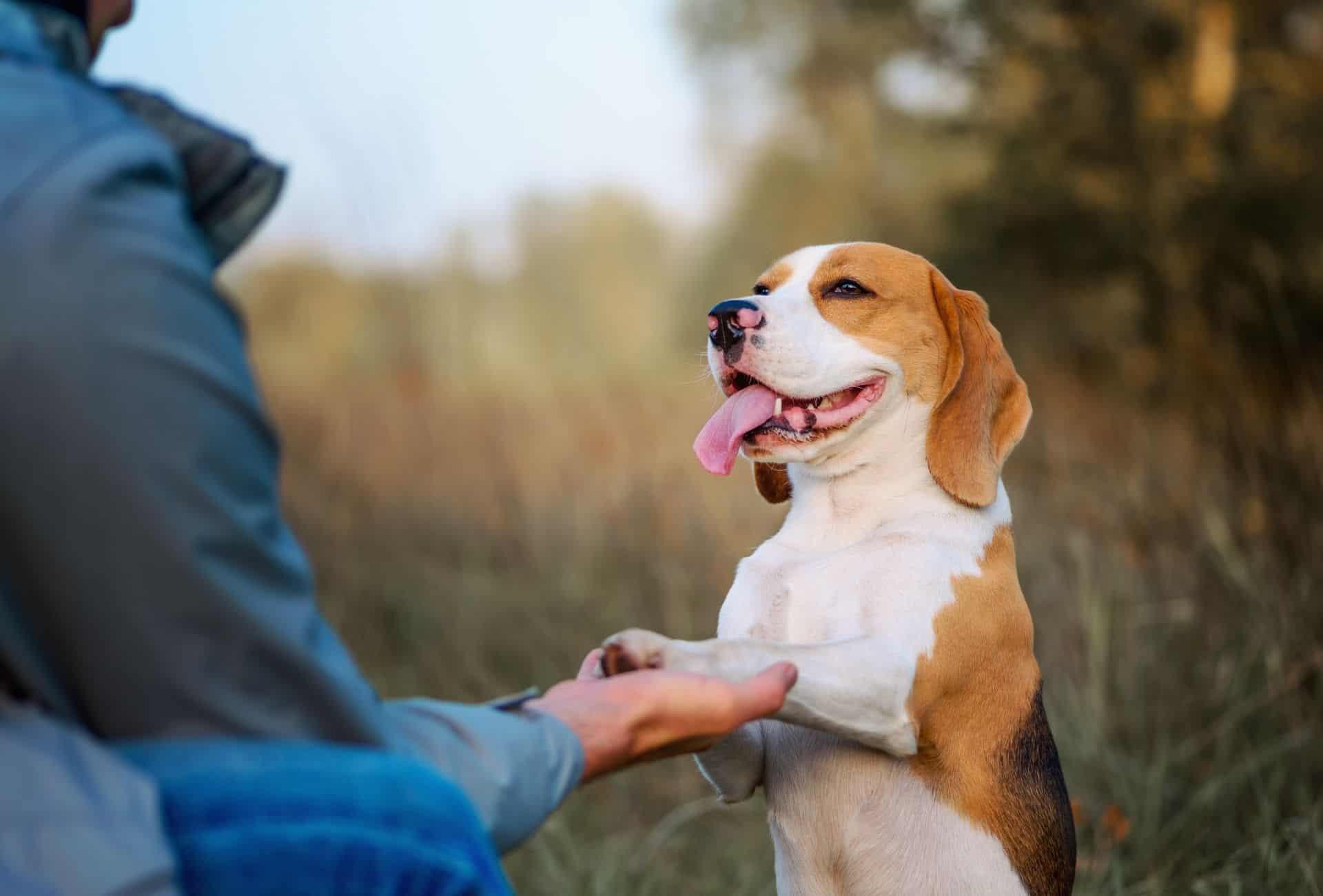Beagle in training
