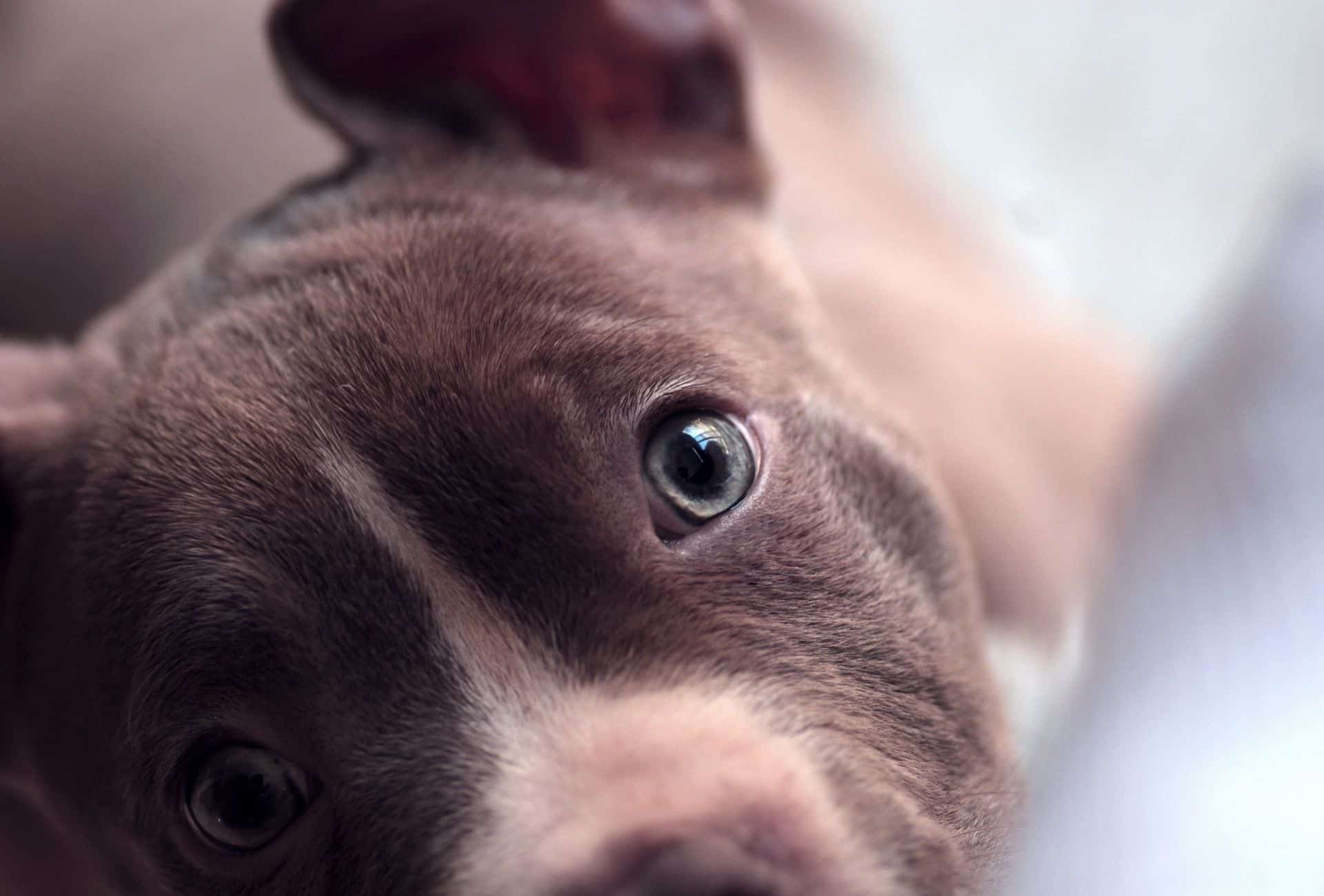 Close-up of a Pitbull puppy with blue eyes.