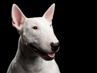 Whie Bull Terrier with the ears perked up in front of black background.