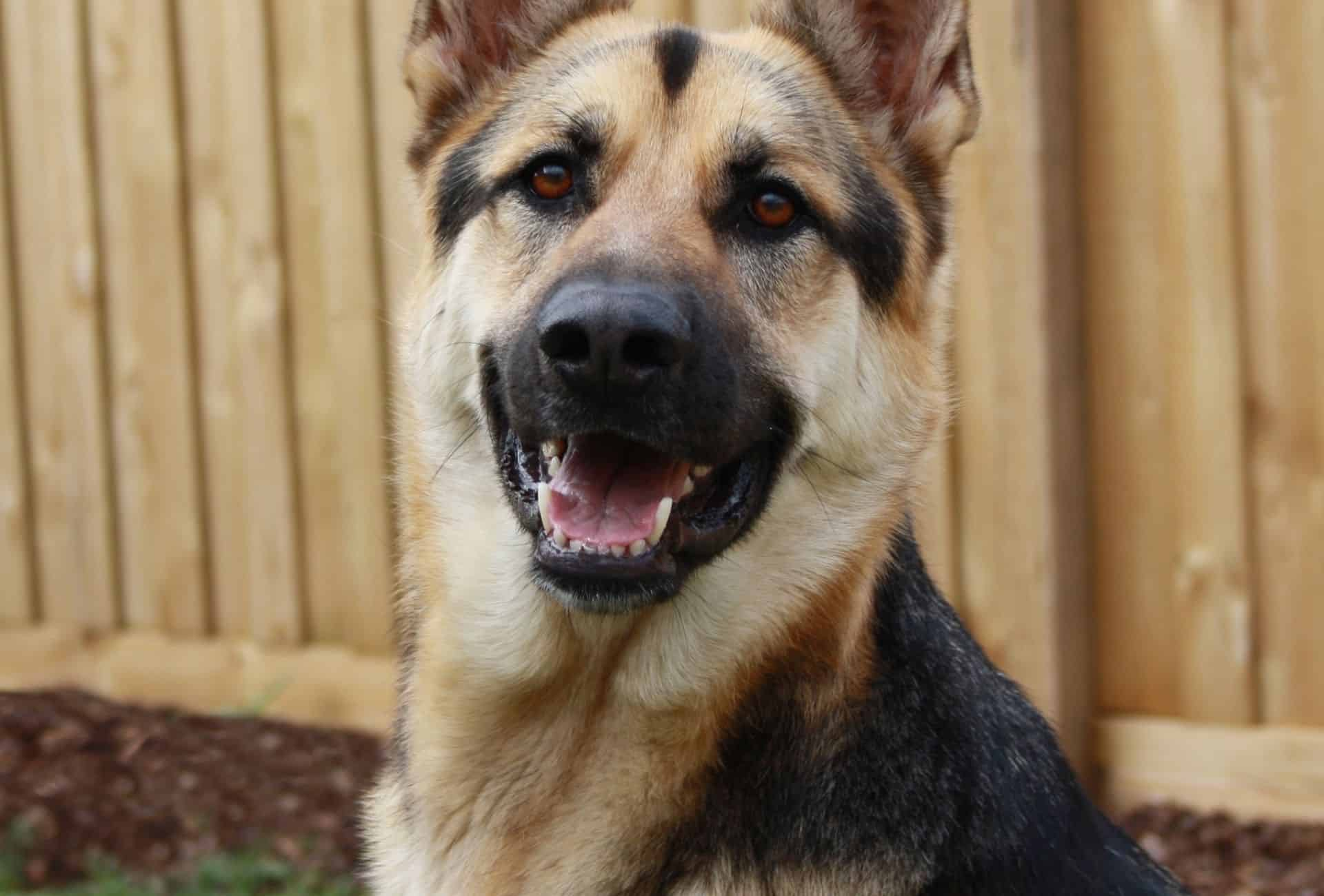 Black and cream German Shepherd with light and pale tan color.