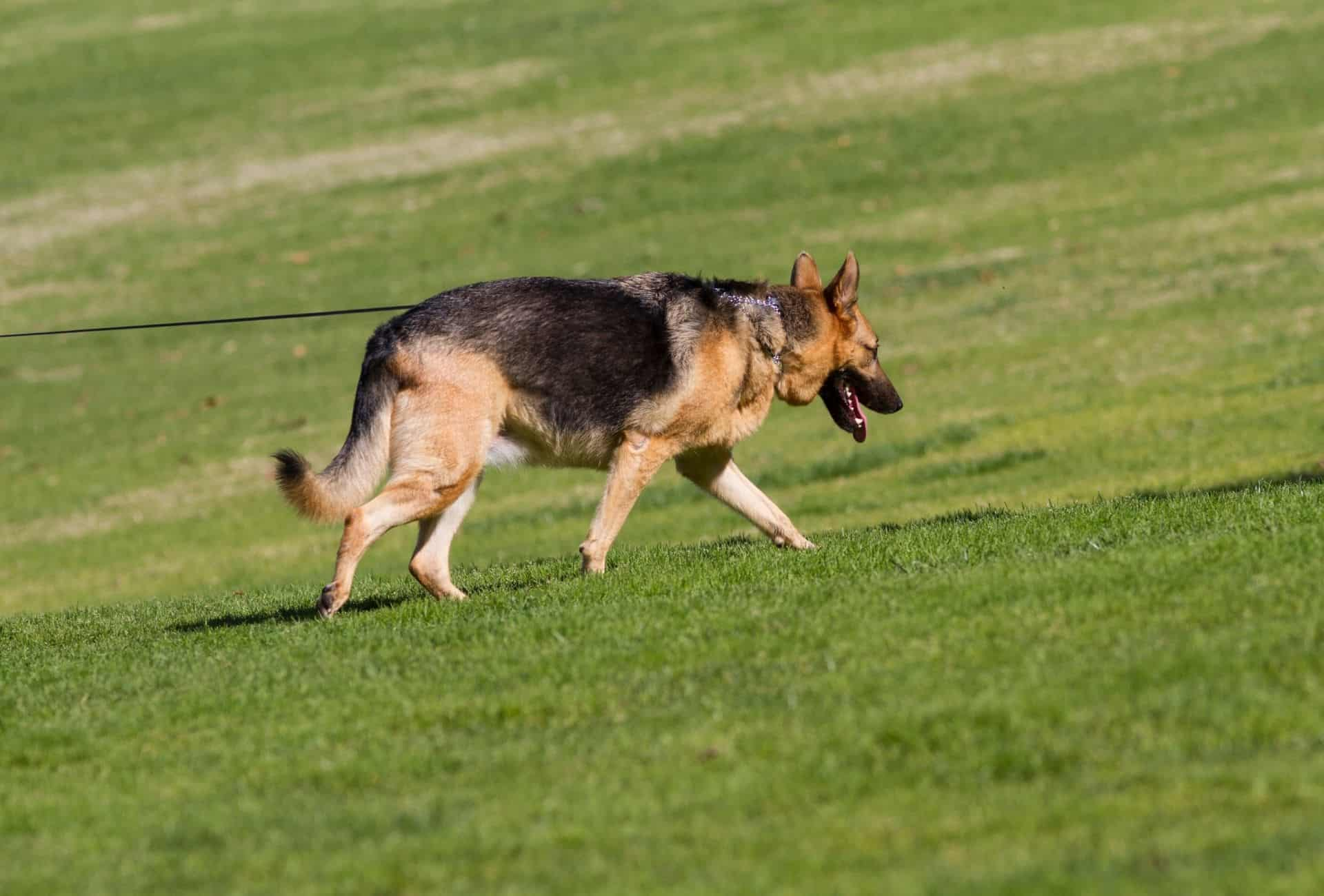 Black and tan German Shepherd is walking on a leash over grass.