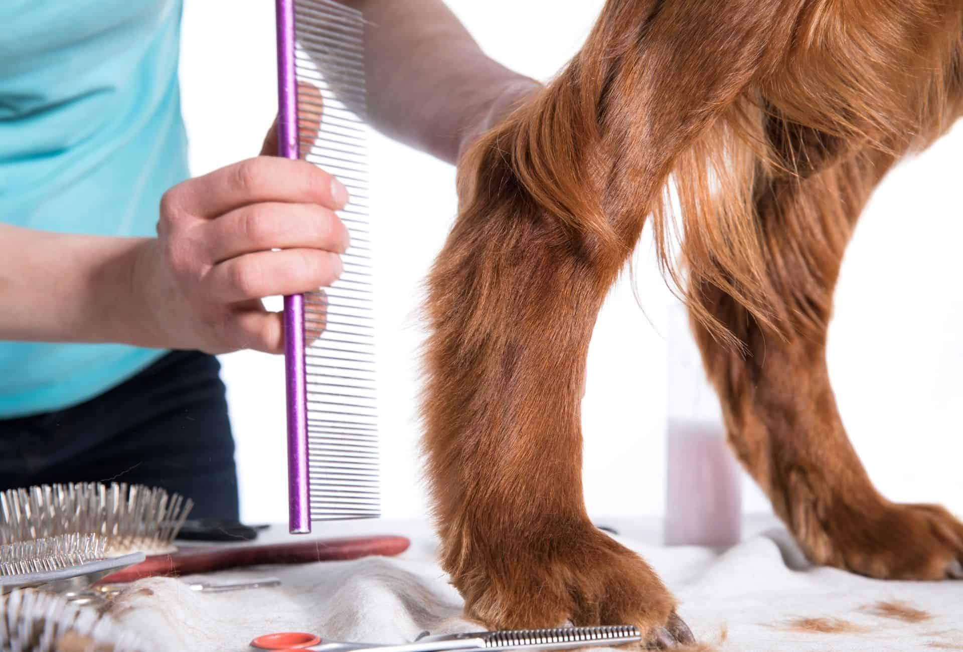 Dog is groomed and cutting or improperly grooming the hair around the anal region can cause a swollen rear end.