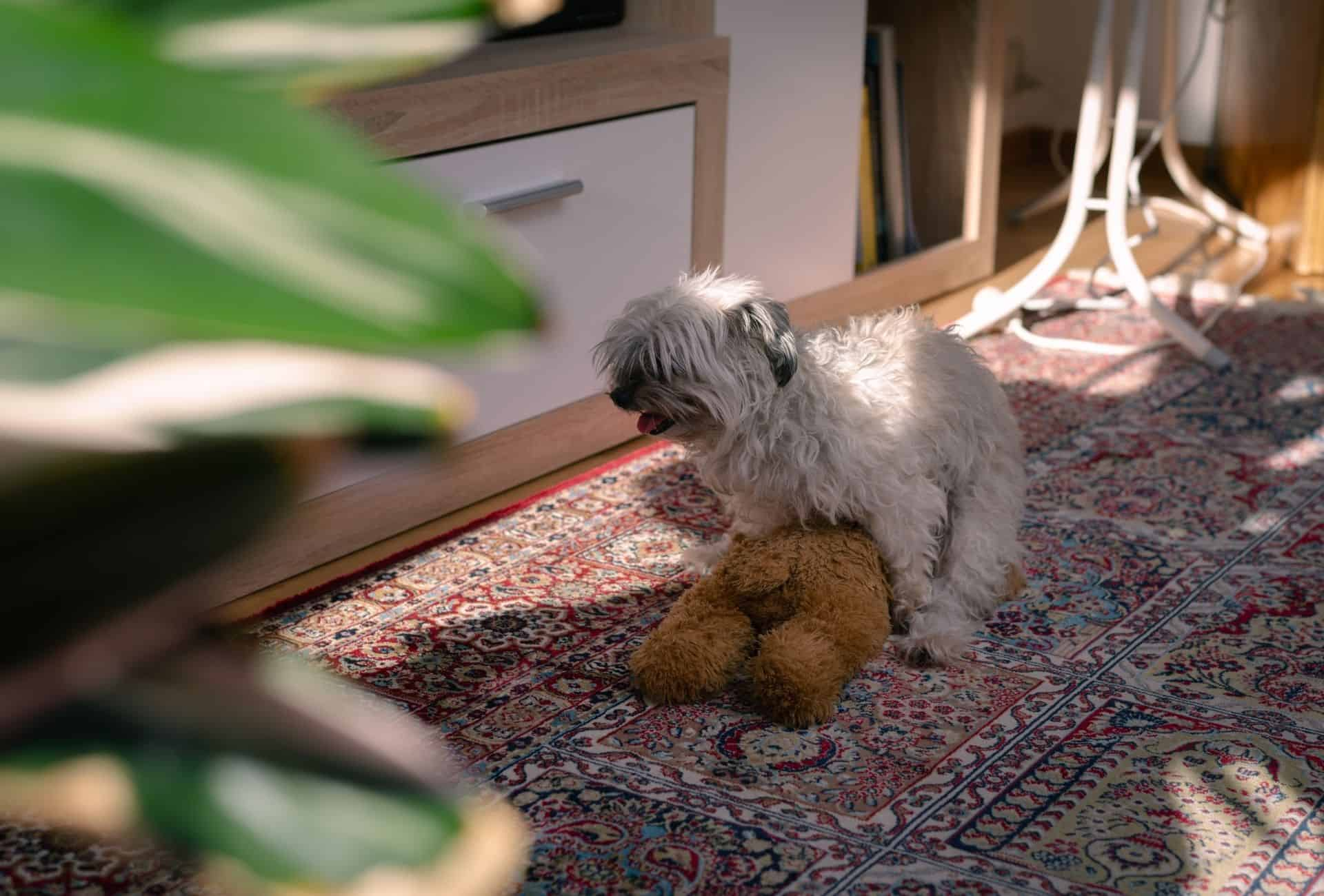 A small female dog is humping a stuffed animal toy inside the house.