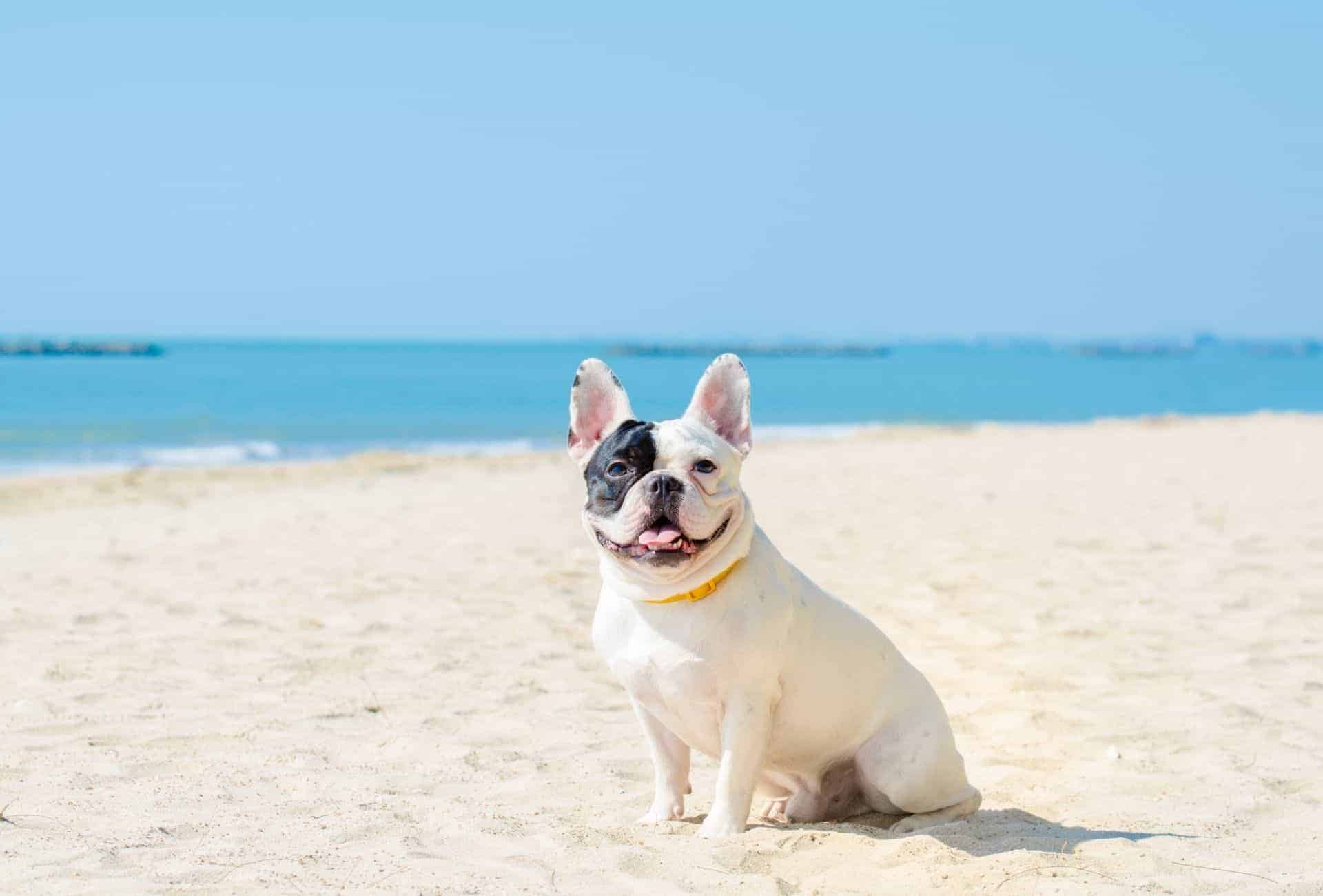 White French Bulldog with black splotch around eye is on a sandy beach, showing that exercise and enrichment extend the lifespan.