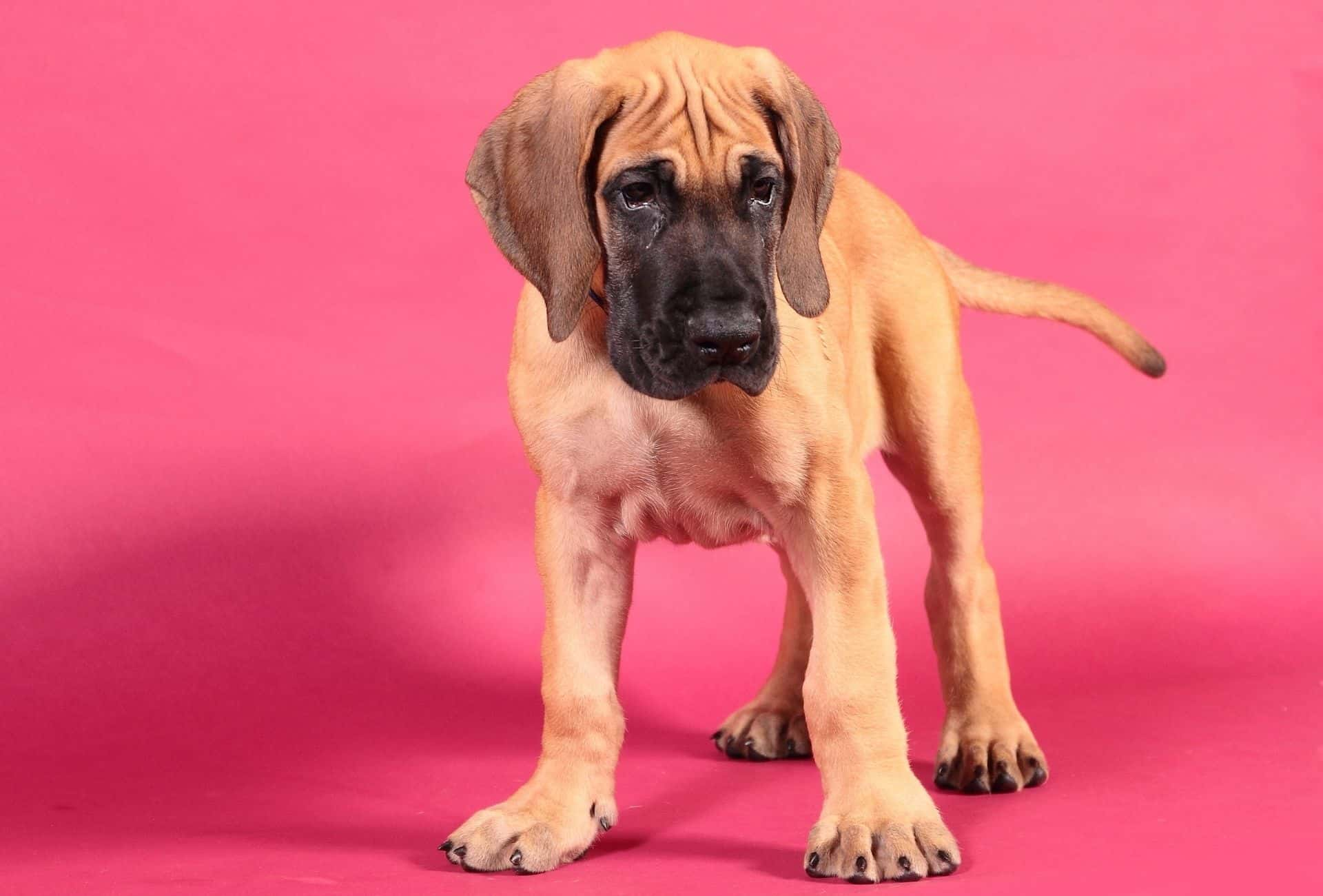 Cute Great Dane puppy with huge paws in front of a pink background.