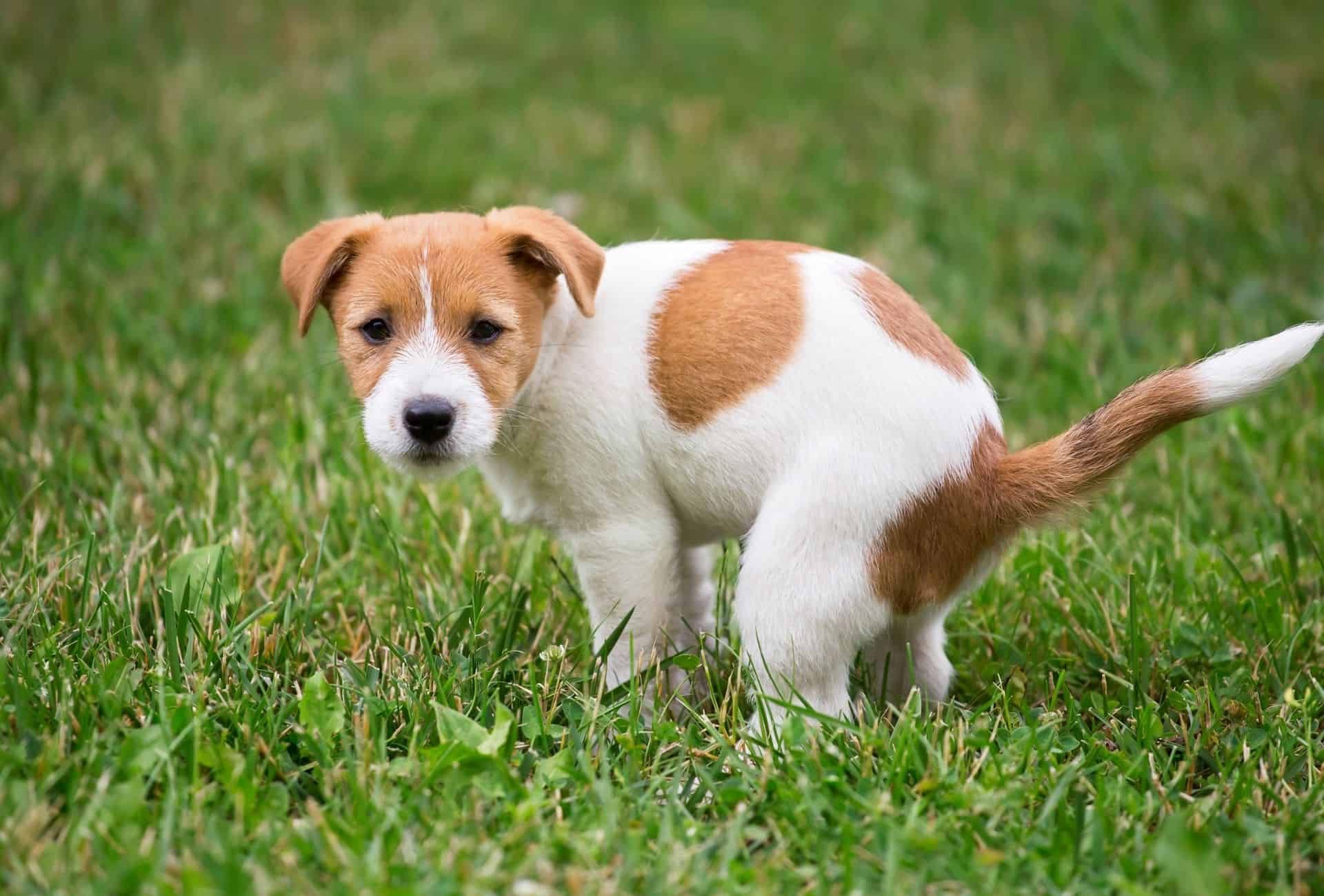 Puppy is about to scoot over the grass to possibly alleviate his itchy rear end.