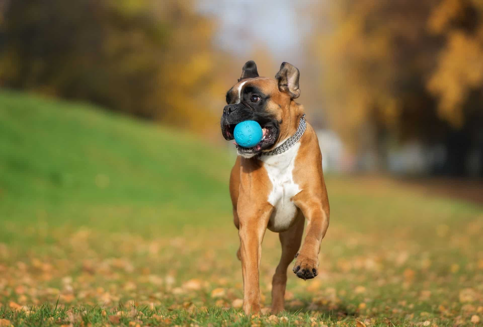 Boxer retrieving a blue ball, showing that despite being alert and good guard dogs, Boxers are fun dogs for first time owners.