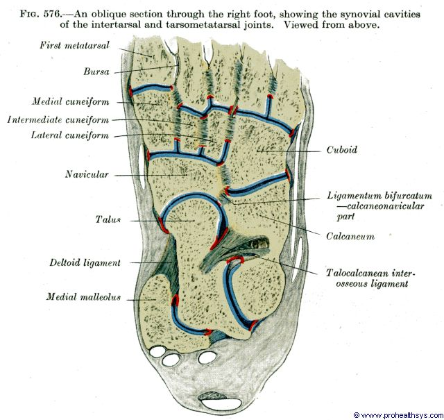Foot synovial cavities of intertarsal and tarsometatarsal joints, oblique section, superior view - Figure 576