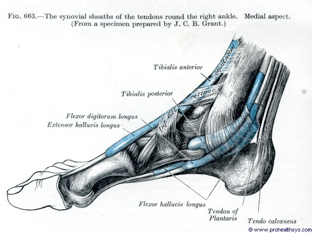 Right ankle synovial sheaths of the tendons medial view - Figure 663