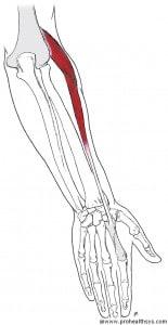 EW AN Extensor Carpi Radialis Longus