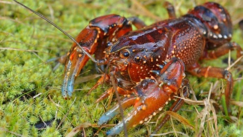 Alpine spiny crayfish | Mark Jekobson | NatureMapr | CC BY 3.0 AU