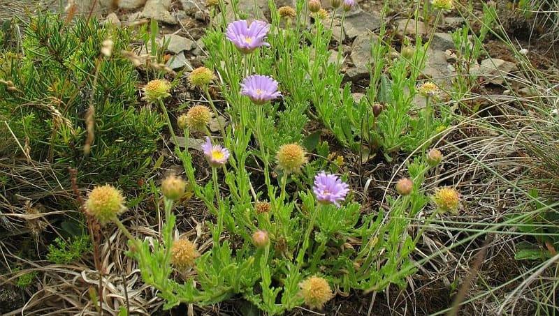 Mauve burr-daisy. Photo Michael Mulvaney, NatureMapr | CC BY 3.0 AU