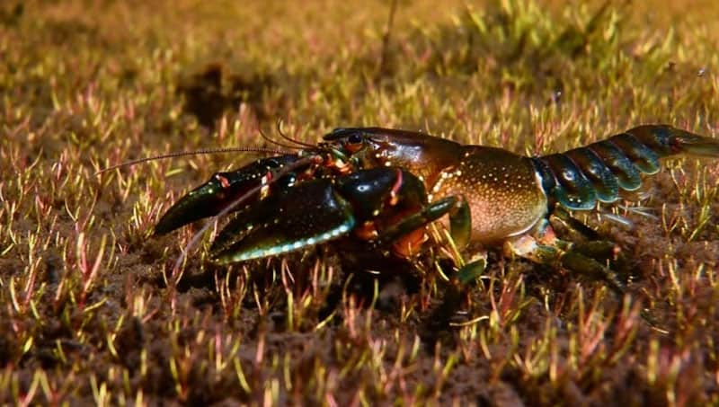 Reiks freshwater crayfish. Photo by Mark Jekabsons | CC BY 3.0 AU