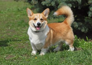 Corgi smiling on the grass