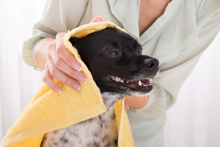 Woman Cleaning Her Dog With Towel At Home