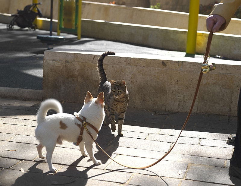 Dog on leash meets cat outside