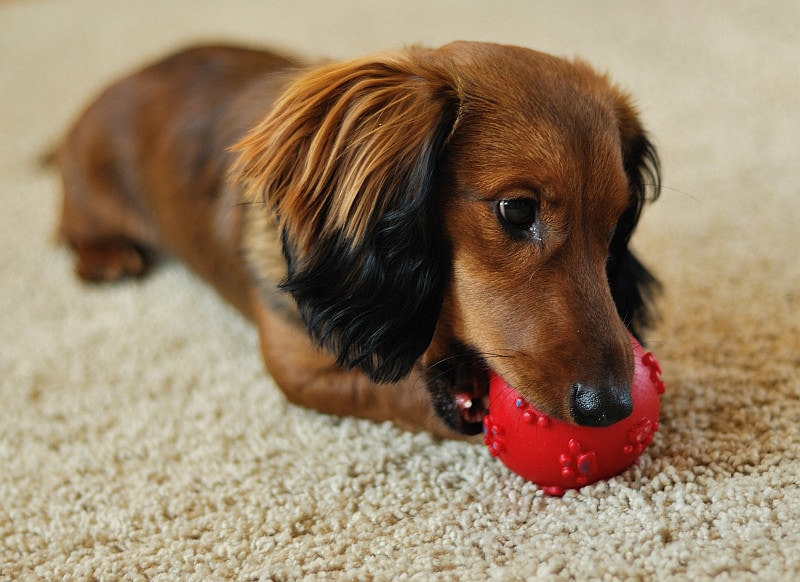 Dachshund playing with red ball