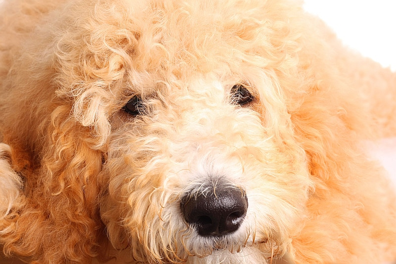 Goldendoodle dog lying and looking at the camera