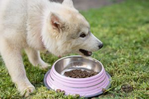 Siberian Husky eating on the gras from bowl