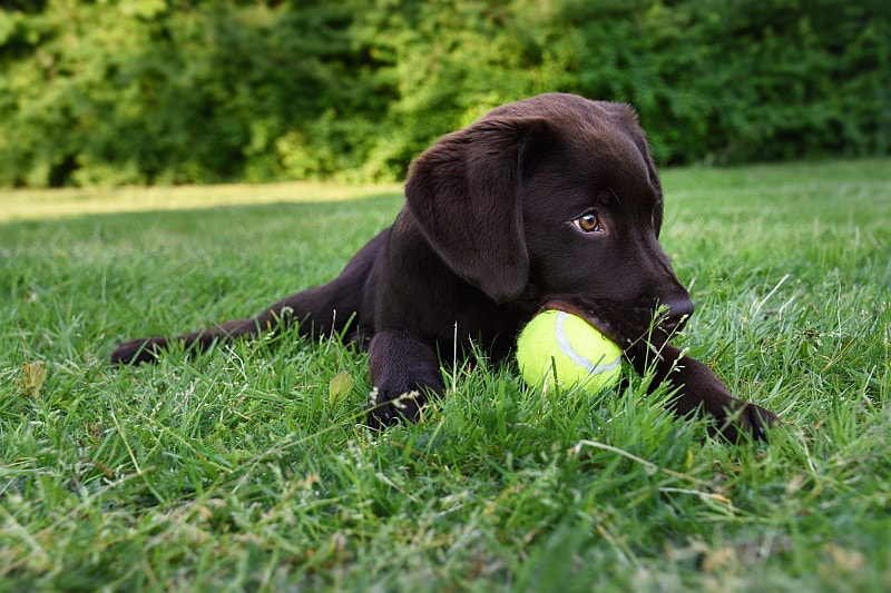 Labrador puppy playing with tennis ball in the grass