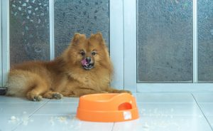 Pomeranian dog resting after eating food from the bowl