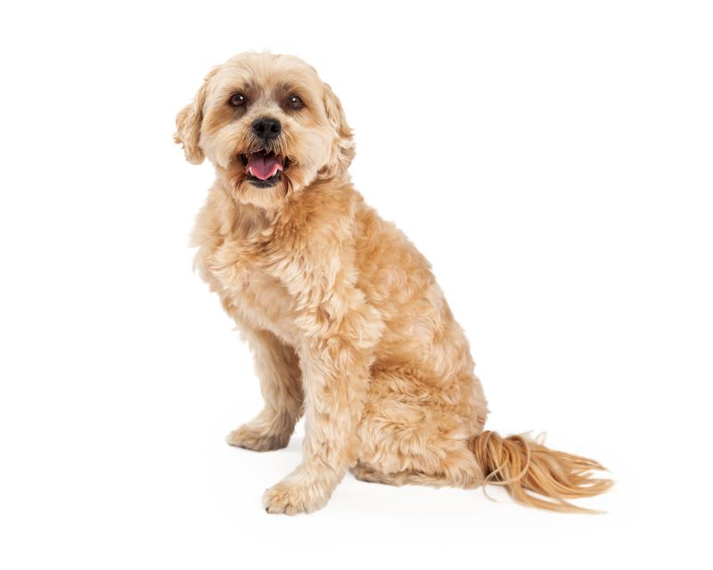 An excited Maltese and Poodle Mix Dog sitting at an angle while looking directly into the camera.