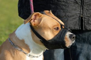 head of purebred american staffordshire terrier with muzzle