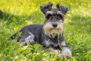 miniature schnauzer in the green grass